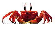 A5_2_crabe.jpg